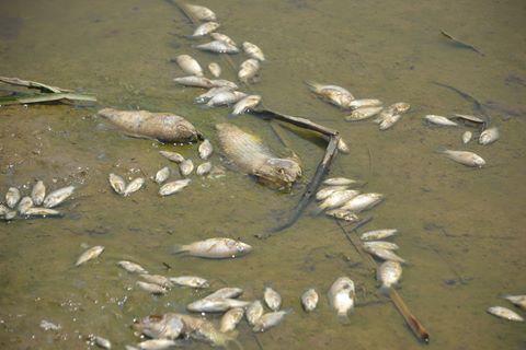 cá chết dạt vào bờ ở Kiên Giang