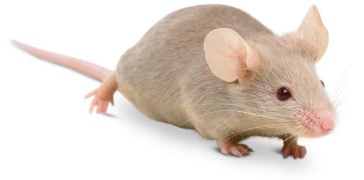 Cùng các cao thủ giải mã giấc mơ về con chuột và những con số  gắn liền
