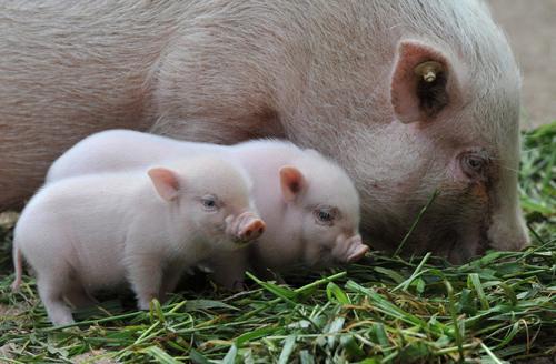 mơ con lợn