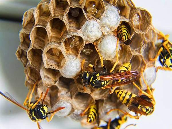 Ong ruồi làm tổ trong nhà điềm gì?